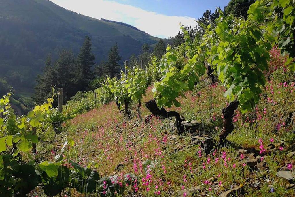 Colina con viñedos de Vino de Cangas IGP y montañas al fondo