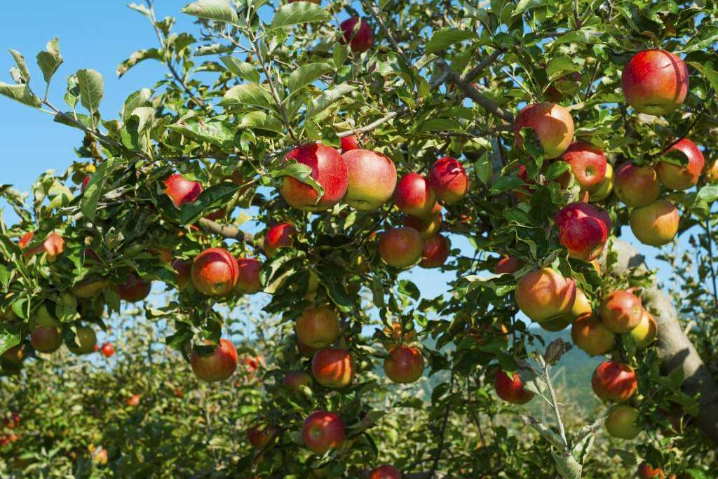 Pomarada de manzana para elaborar sidra
