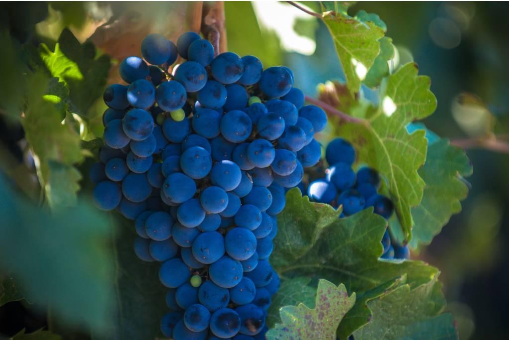 Uva Carrasquín, el vino en Asturias.