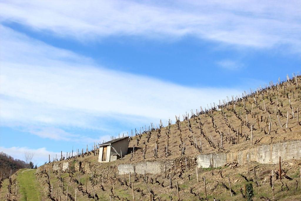 Las vides del vino de Cangas en invierno